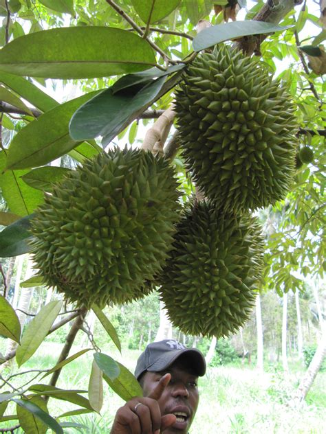 File:Durian in tree