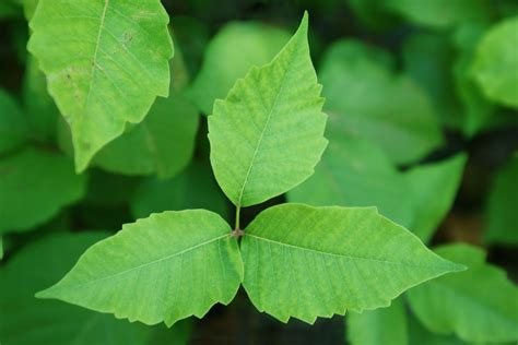 How to Prevent and Treat Poison Ivy