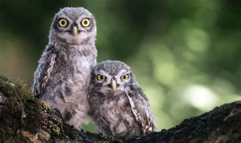 Amazing pictures show annoyed owl making faces | Nature