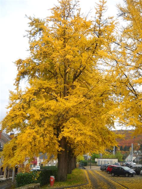 My French Forest: Buy Ginkgo Biloba Seed